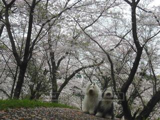 桜満開🌸綺麗の写真・画像素材[1191006]