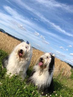 5月の空と麦畑の写真・画像素材[1196542]