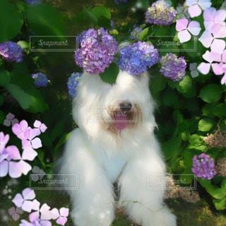 紫陽花に埋もれたい。の写真・画像素材[1229311]