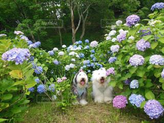 紫陽花いっぱいの写真・画像素材[1234271]