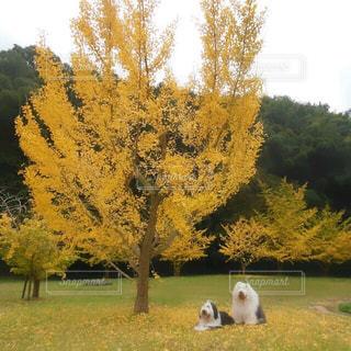 黄葉綺麗な秋のお散歩の写真・画像素材[1520458]