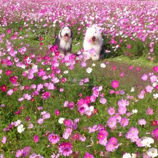 犬,花,動物,屋外,コスモス,ふわふわ,oes