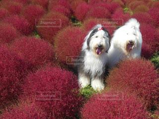 犬,花,動物,屋外,ふわふわ,oes