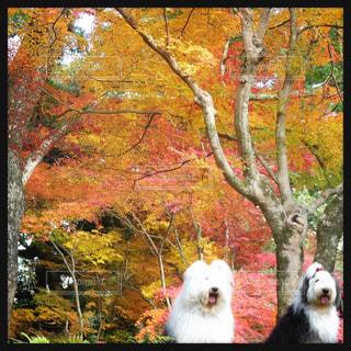 紅葉🍁綺麗🍁の写真・画像素材[1521873]