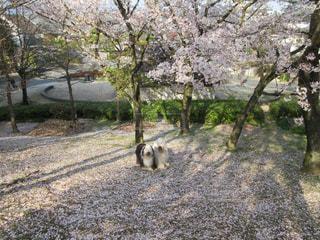桜の絨毯🌸の写真・画像素材[1987400]
