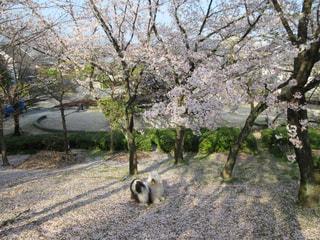 桜の絨毯🌸の写真・画像素材[1987417]