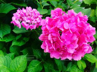 紫陽花,梅雨入り,もうすぐ夏!