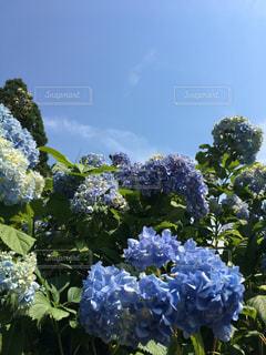 風景,屋外,青空,紫陽花,梅雨