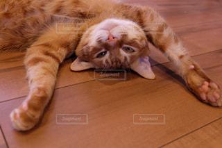 木製の床の上に横になっている猫の写真・画像素材[1258708]