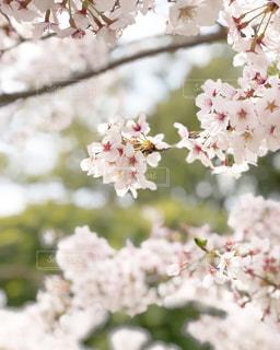 桜の写真・画像素材[1875317]