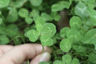 幸せを呼ぶ四つ葉のクローバーの写真・画像素材[1196924]