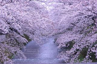 川に映る満開の桜の写真・画像素材[3071916]