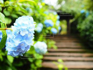 自然,紫陽花,ブルー,梅雨