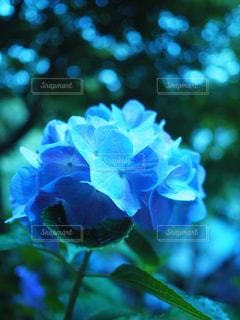 雨,紫陽花,ブルー,梅雨