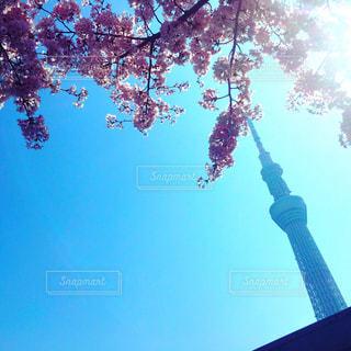 スカイツリーと桜の写真・画像素材[1808325]