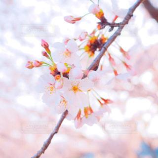桜の写真・画像素材[1832739]
