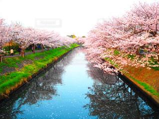 桜と海老川の写真・画像素材[1832751]