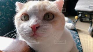 テーブルの上に座っている猫のクローズアップの写真・画像素材[2711914]