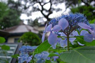 自然,花,屋外,あじさい,紫,紫陽花