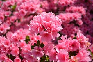 花,ピンク,ツツジ,桃色,足利フラワーパーク