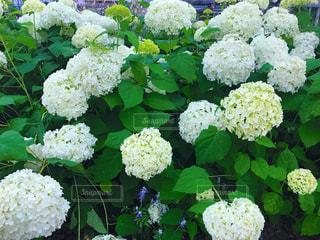 屋外,緑,白,葉,紫陽花,梅雨