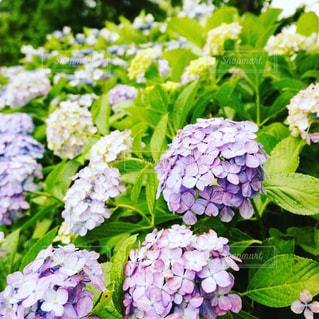 花,雨,紫陽花,梅雨,アジサイ,インスタ映え