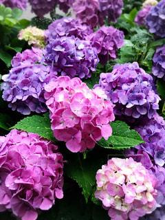 花,紫,鮮やか,紫陽花,雨上がり,梅雨,草木