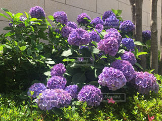 公園,花,屋外,紫陽花,ブルー,明るい,梅雨,6月,人気,インスタ映え