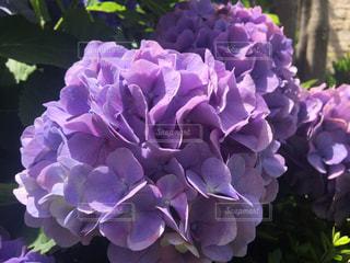 公園,花,屋外,きれい,紫陽花,ブルー,明るい,梅雨,6月,人気,インスタ映え