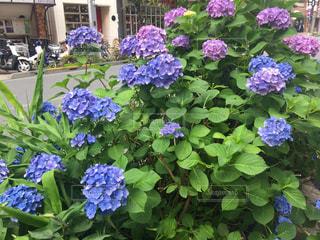 花,屋外,きれい,紫,紫陽花,ブルー,明るい,梅雨,6月,コントラスト,インスタ映え