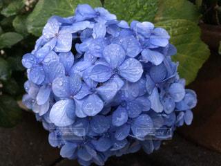 屋外,綺麗,紫,水滴,紫陽花,雨上がり,梅雨,6月