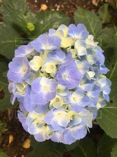 自然,花,植物,あじさい,紫陽花,梅雨,6月,7月,薄紫色