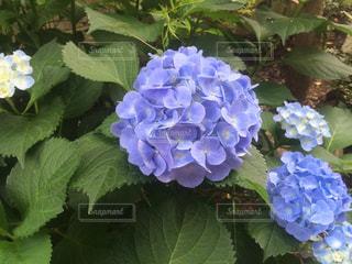 自然,花,植物,あじさい,紫陽花,梅雨,6月,7月,青紫色,庭植え