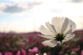 自然,風景,空,花,秋,屋外,コスモス,夜桜,景色,外,未来,flower,秋桜,japan,Autumn,夢,ポジティブ,草木,希望,可能性,cosmos