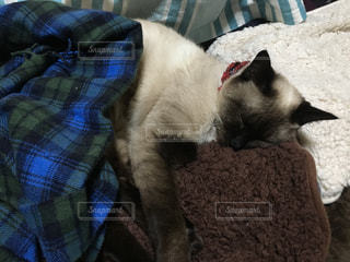 室内,寝てる,気持ちよさそう,シャム猫
