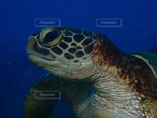 サイパンの青い海の中の海亀の写真・画像素材[1366870]