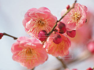近くの花のアップ小金井公園の梅が咲いたの写真・画像素材[1826752]