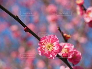小田原城の梅の写真・画像素材[1827407]