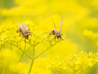 花,春,動物,カップル,黄色,菜の花,鮮やか,蜂,昆虫,イエロー,カラー,千葉県,草木,yellow,多彩,稲毛海岸