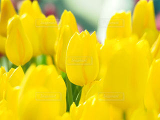 花,春,屋外,黄色,チューリップ,鮮やか,イエロー,カラー,yellow,江の島,アイスチューリップ