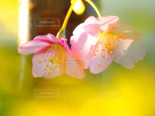 自然,花,春,桜,屋外,ピンク,花見,カラー,色,ライフスタイル,クローズアップ,草木,自宅,Sakura