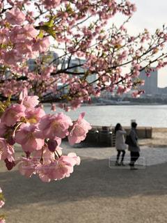 自然,公園,花,春,桜,屋外,ピンク,花見,お花見,東京都,カラー,色,ライフスタイル,クローズアップ,草木,Sakura,お台場海浜公園