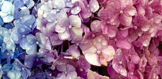 花,雨,水滴,鮮やか,紫陽花,雨上がり,梅雨,グラデーション