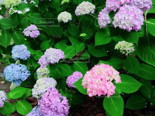 花,カラフル,あじさい,紫陽花,梅雨,6月