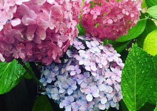 自然,紫陽花,梅雨