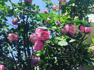 自然,ピンク,薔薇
