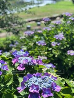 自然,屋外,紫陽花
