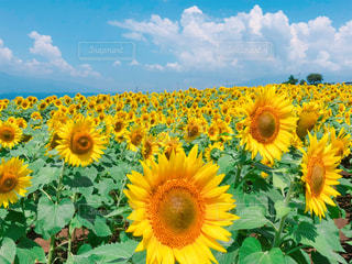 ひまわり畑の写真・画像素材[1368236]