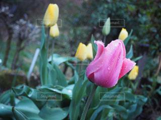 花,雨,チューリップ,草花,雫