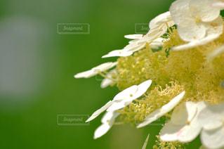 風景,植物,白,綺麗,あじさい,紫陽花,梅雨,フォトジェニック